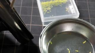 食用菊を作ってます。