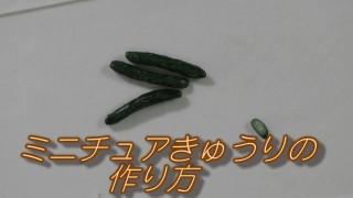 動画★ミニチュアきゅうりの作り方