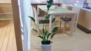 観葉植物、ストレリチア・レギネ