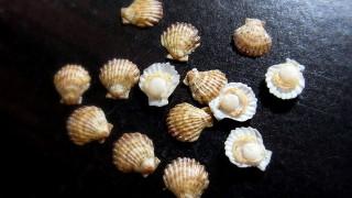 ほたて貝殻付き
